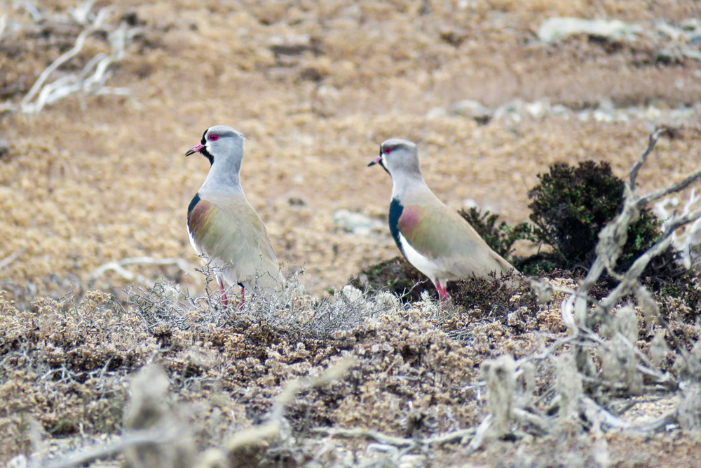 island conservation lapwings