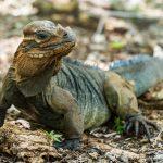 island conservation mona iguana