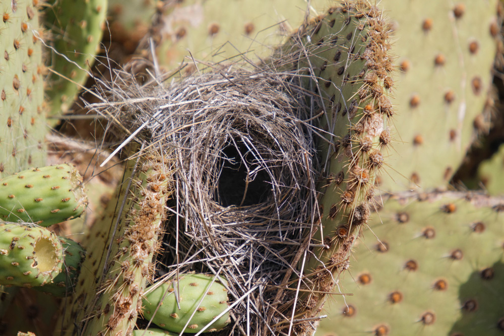 island conservation nest in cactus galapagos