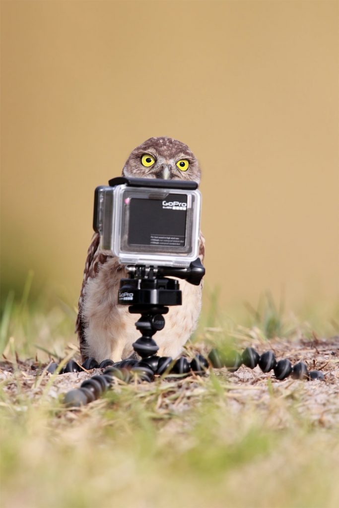 island conservation science owl photographer