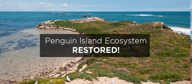 island conservation penguin island restored