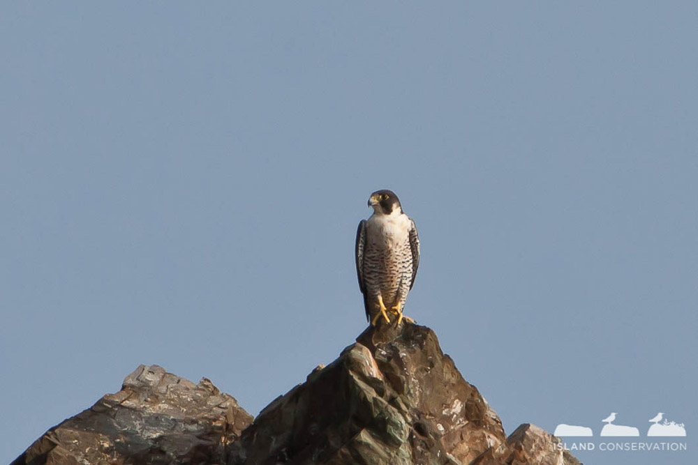 Island Conservation Peregrine Falcon