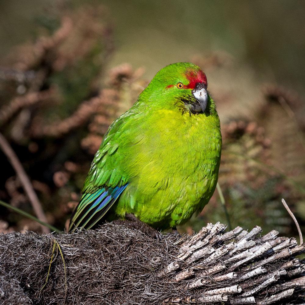 Island-Conservation-Reischeks-Parakeet