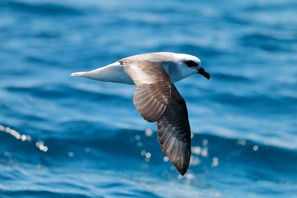 island conservation white-headed petrel