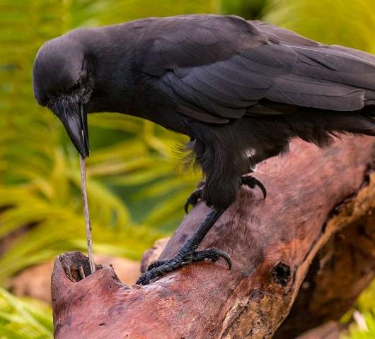 island-conservation-hawaiian-crow