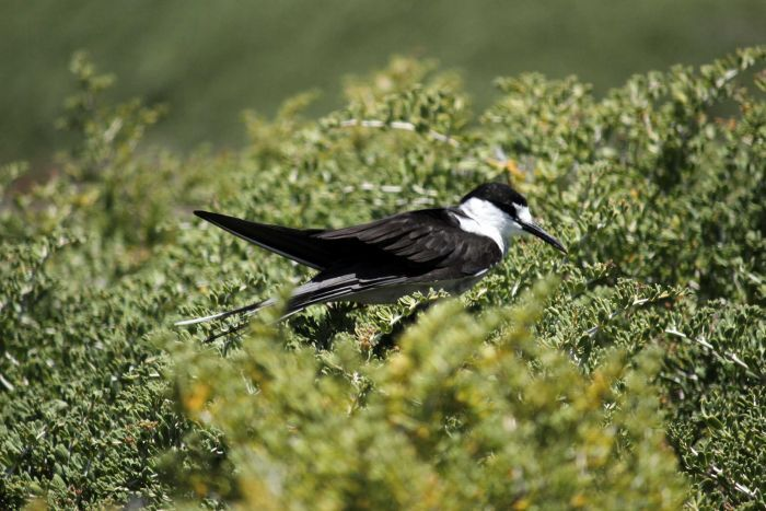 island conservation-sooty-tern