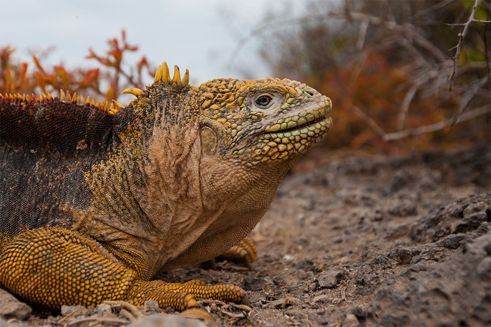 island conservation land iguana