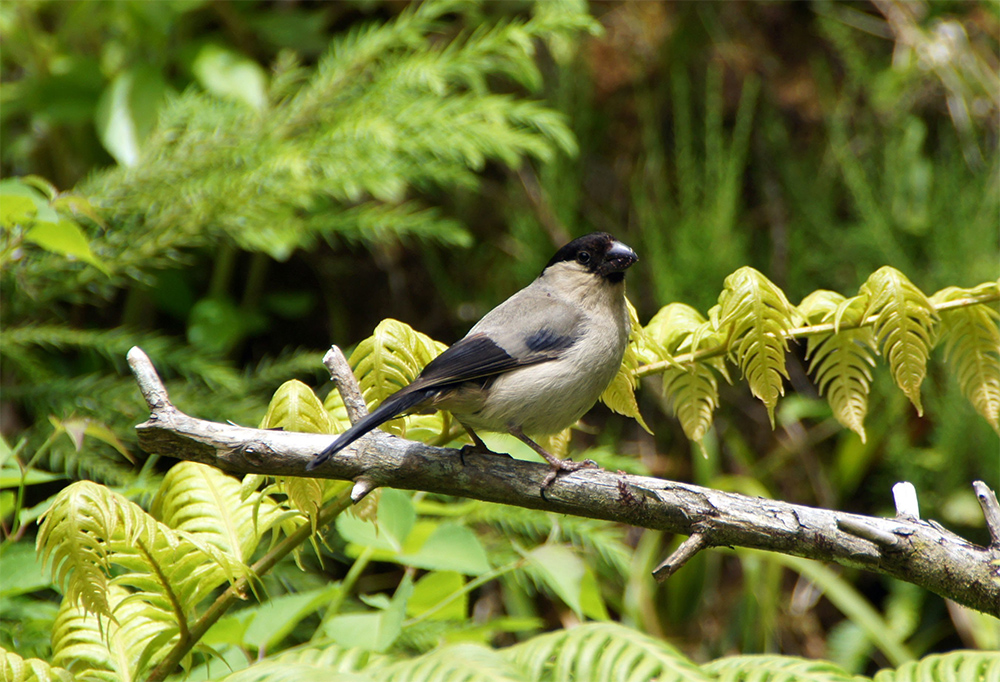 island conservation azores bullfinch