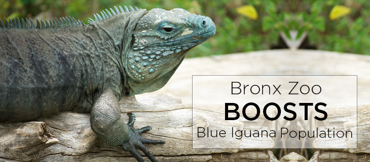 island-conservation-preventing-extinctions-blue-iguana