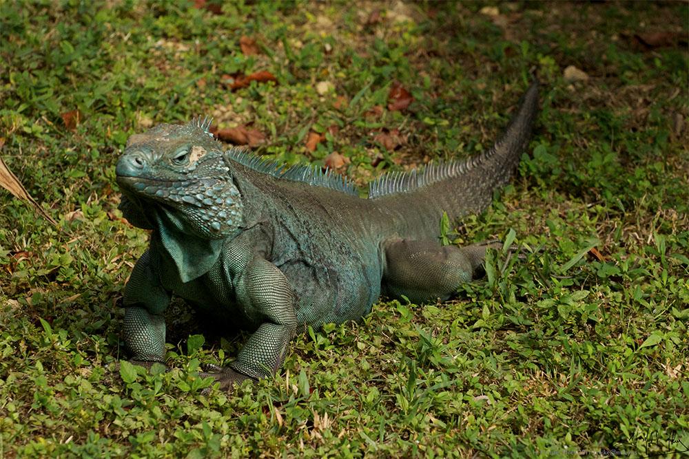 island conservation blue iguana