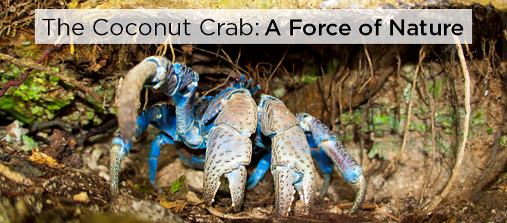 island conservation coconut crab