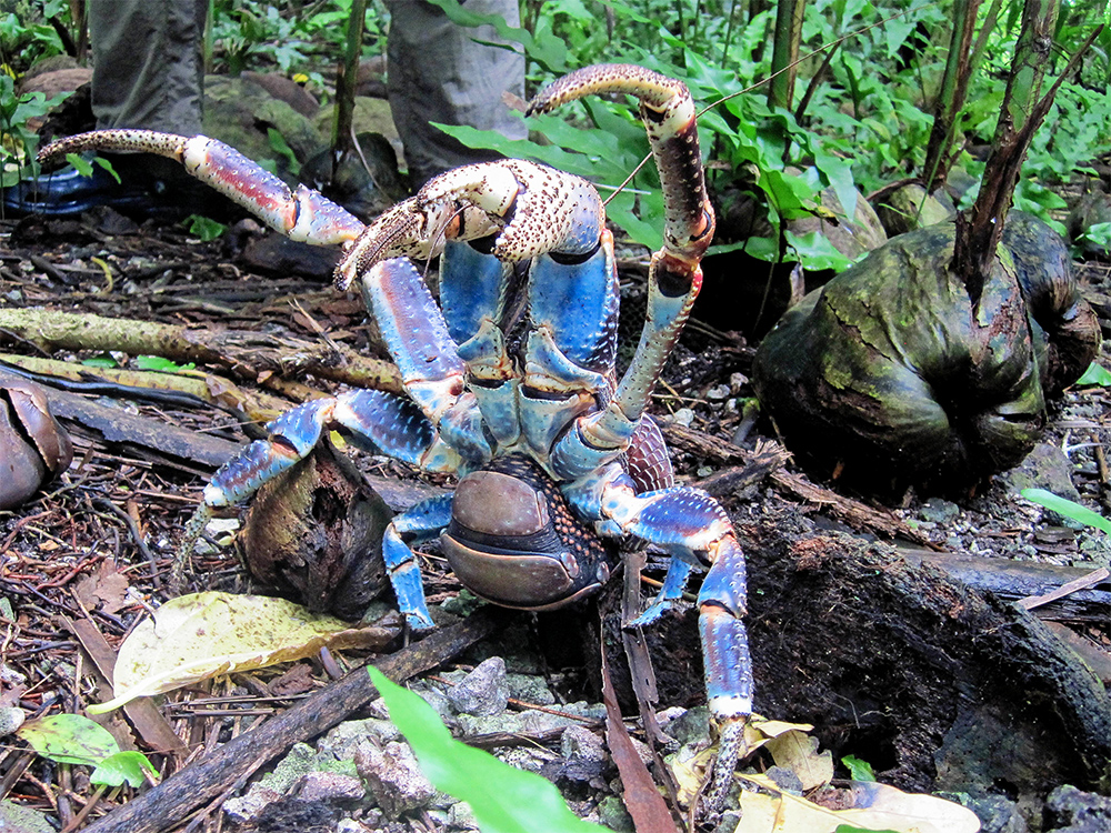 island conservation coconut crab rearing