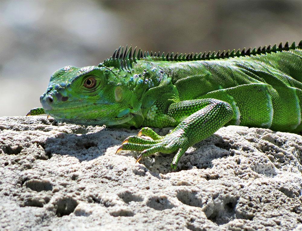 island conservation green iguana