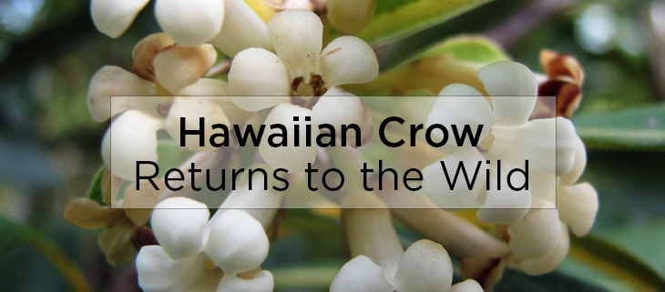 island-conservation-preventing-extinctions-hawaiian-crow-returns-to-wild-feat
