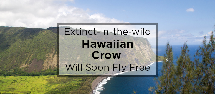 island conservation hawaiian crows fly free