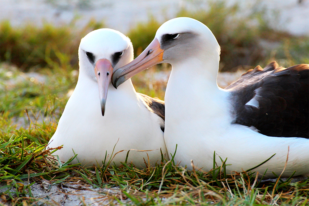 island conservation laysan albatross wisdom midway
