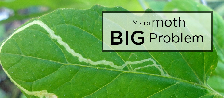 island-conservation-preventing-extinctions-micromoth-big-problem-feat