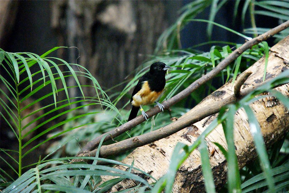 island conservation montserrat oriole