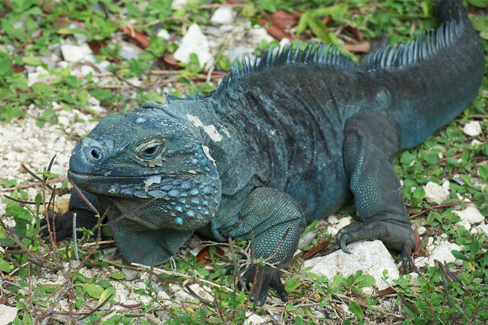 island conservation native blue iguana