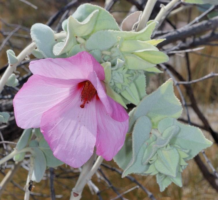 island conservation hibiscus brennanii