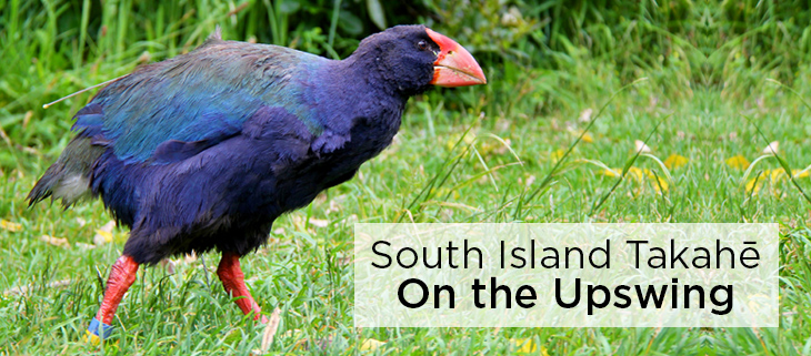 island conservation takahe on the upswing