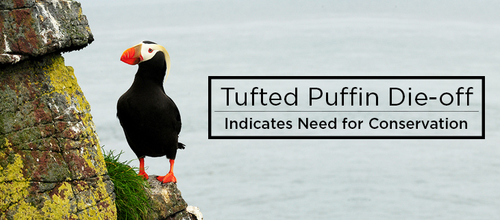 island conservation tufted puffin die-off