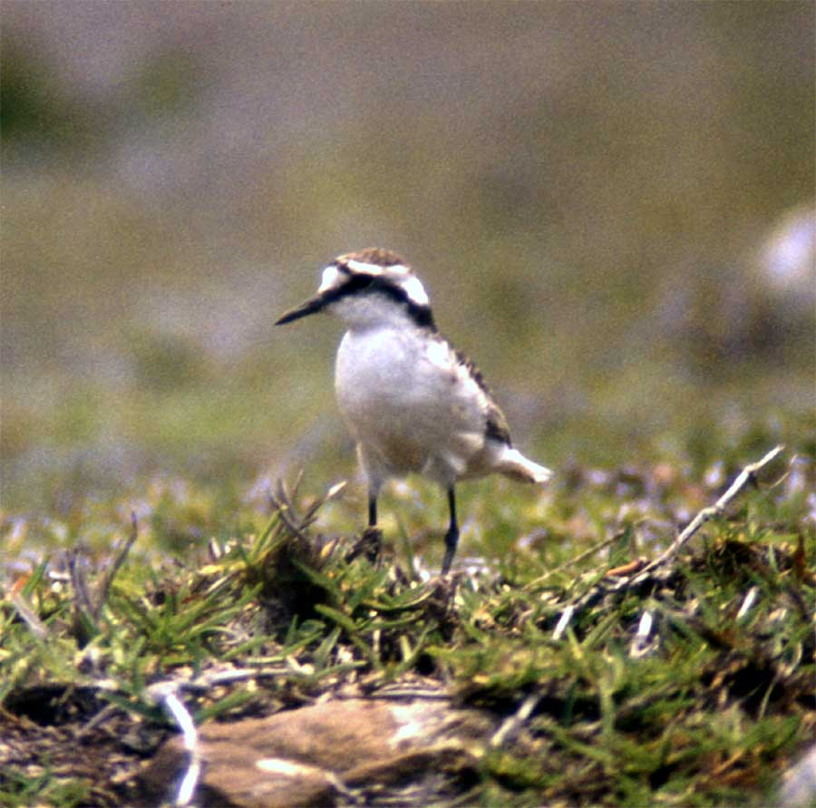 island-conservation-st-helena-plover