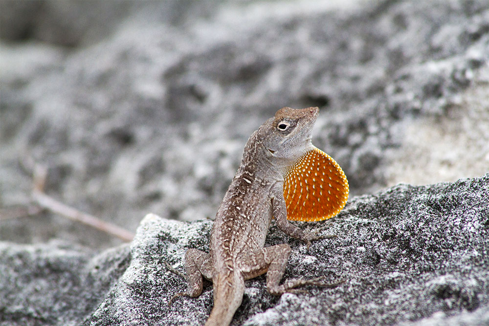 Island Conservation Brown Anole