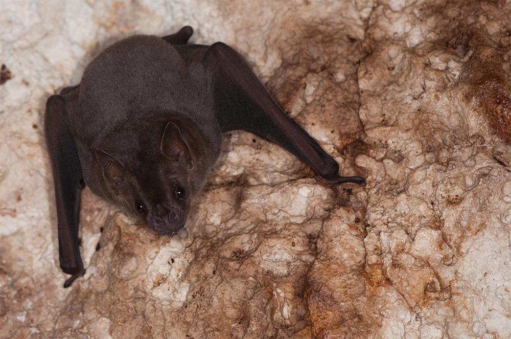 island conservation antipodes caribbean bat