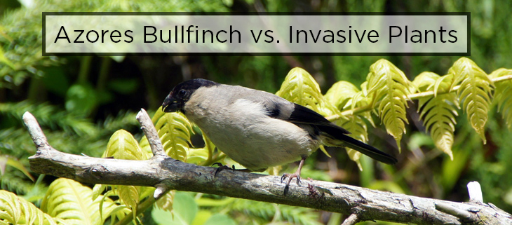 island conservation preventing extinctions azores bullfinch