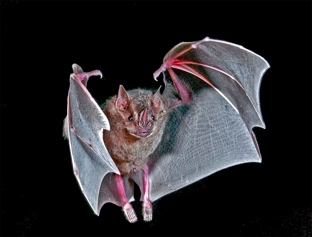 island conservation bat flight