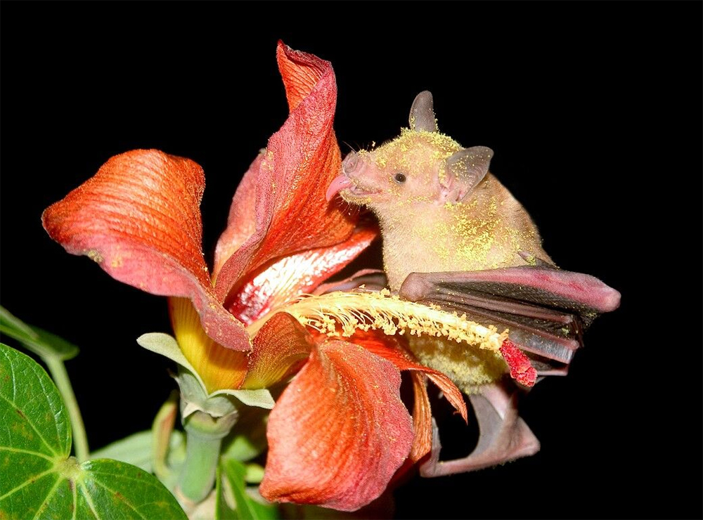 island conservation preventing extinctions bat pollen