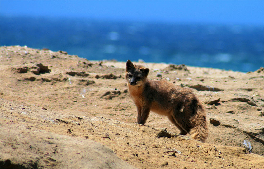 island conservation channel island fox