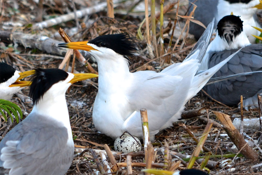 island-conservation-conservation-success-chinese-crested-tern