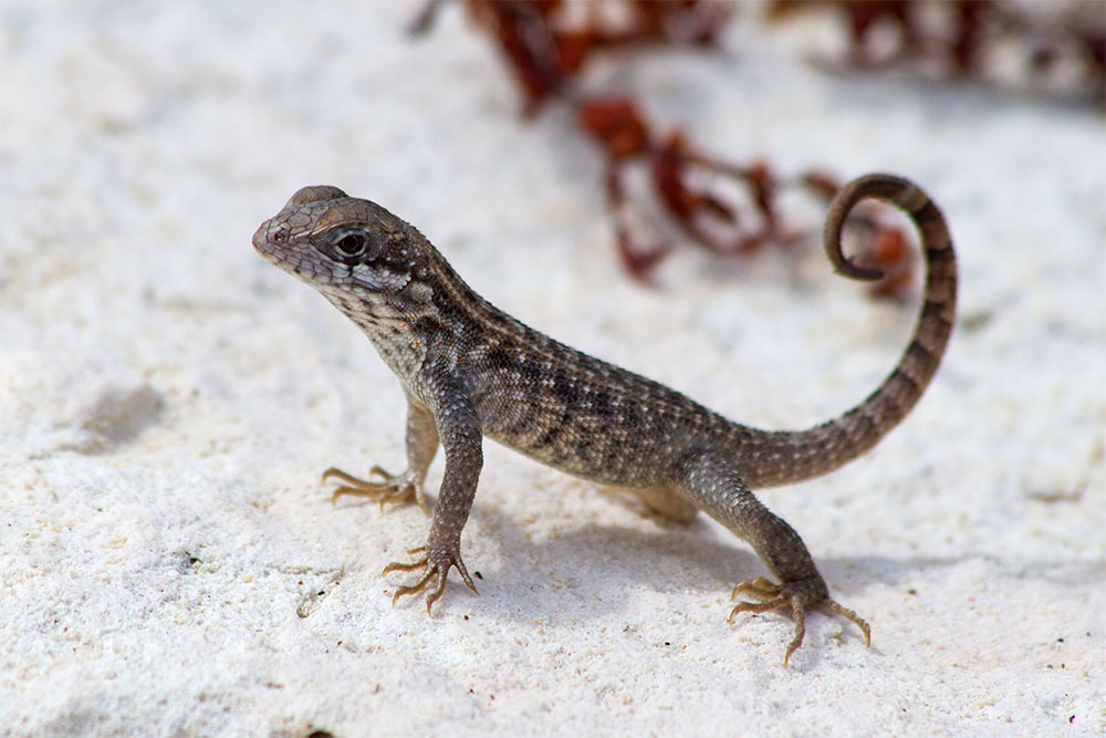 island conservation curly tailed lizard