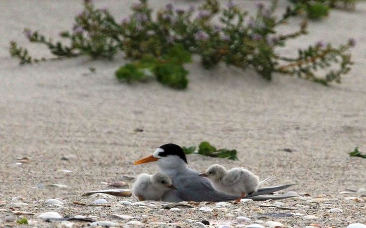 island conservation fairy terns