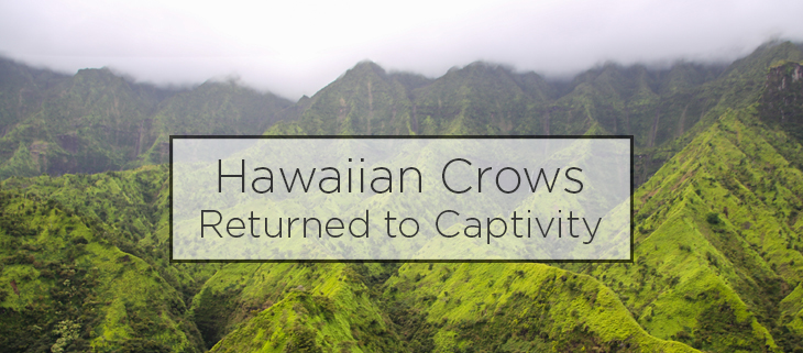 island conservation hawaiian crows captivity