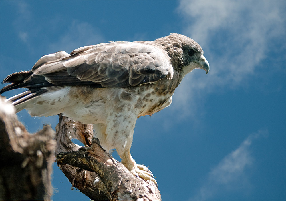 island-conservation-invasive-species-nutrient-cycle-hawaiian-hawk