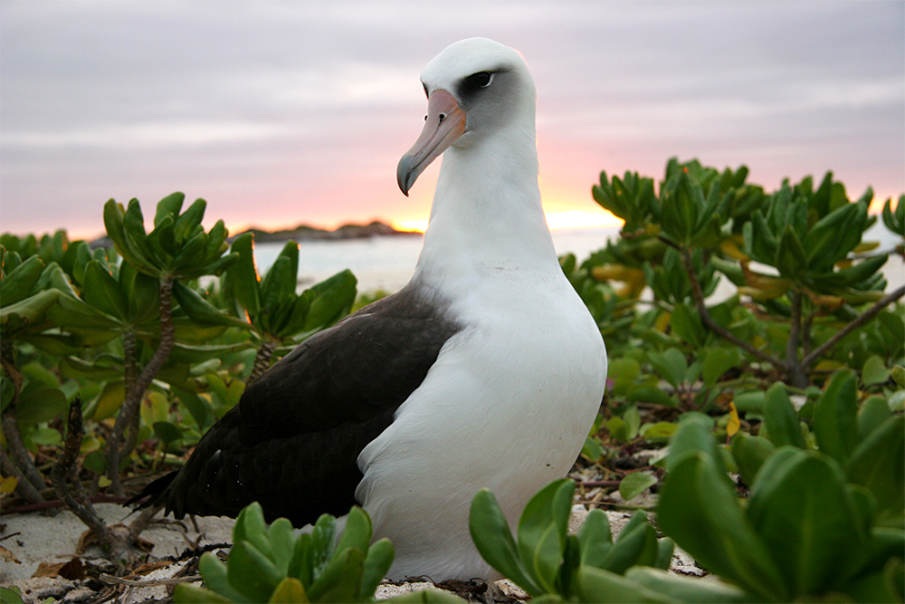 island conservation laysan albatross midway