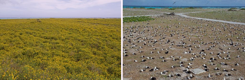 island conservation preventing extinctions midway albatross and alyssum