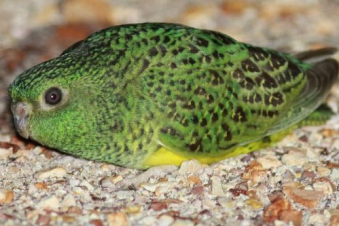 island conservation night parrot research