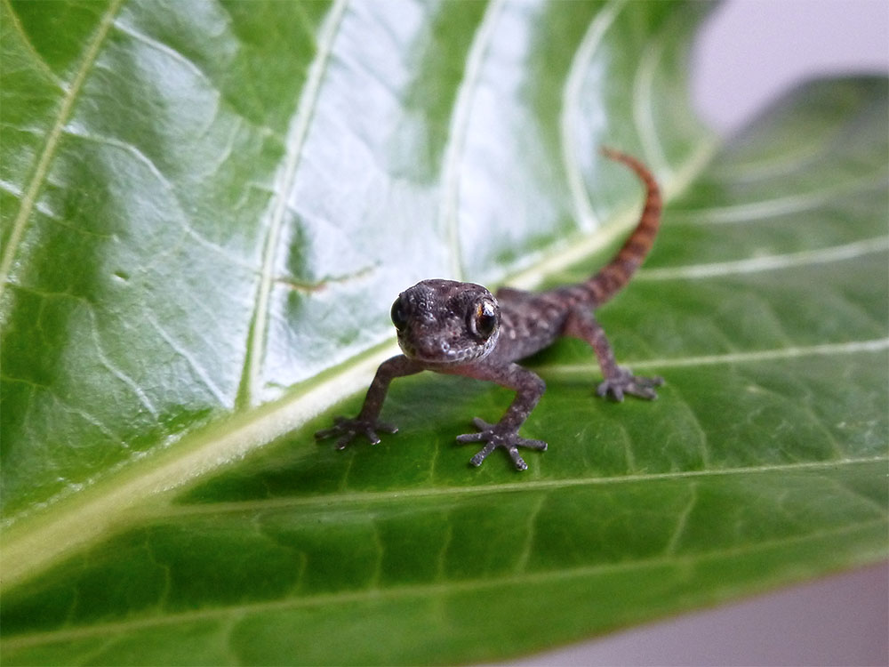 Island Conservation Rabida Gecko