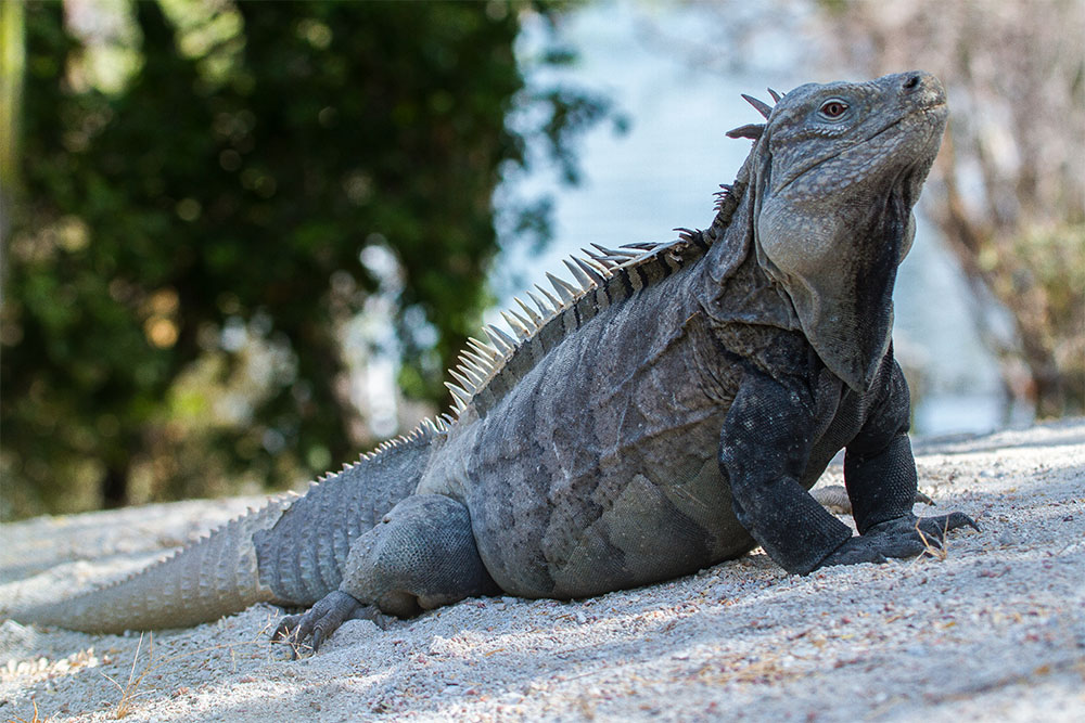 island conservation invasive species threaten ricords iguana