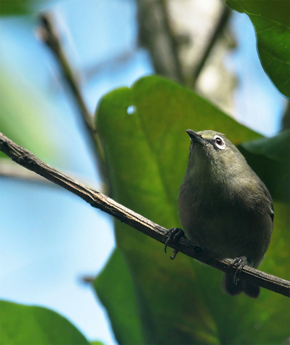 island-conservation-seychelles-white-eye