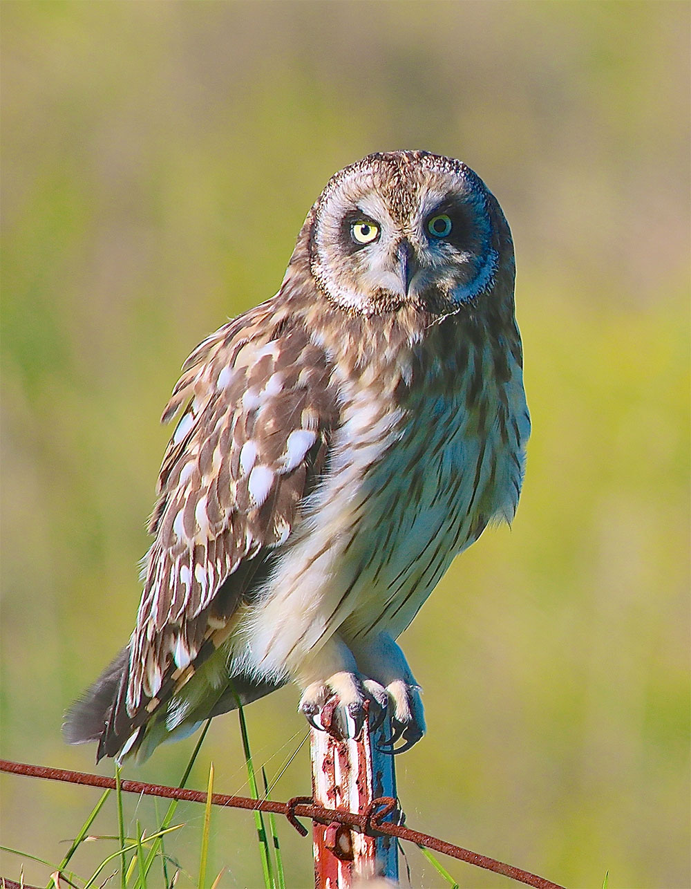 Island Conservation Hawaiian Short Eared Owl