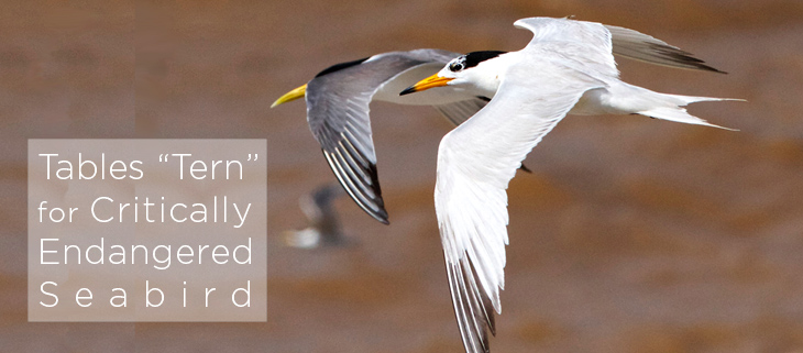 island conservation tables tern for critically endangered seabird