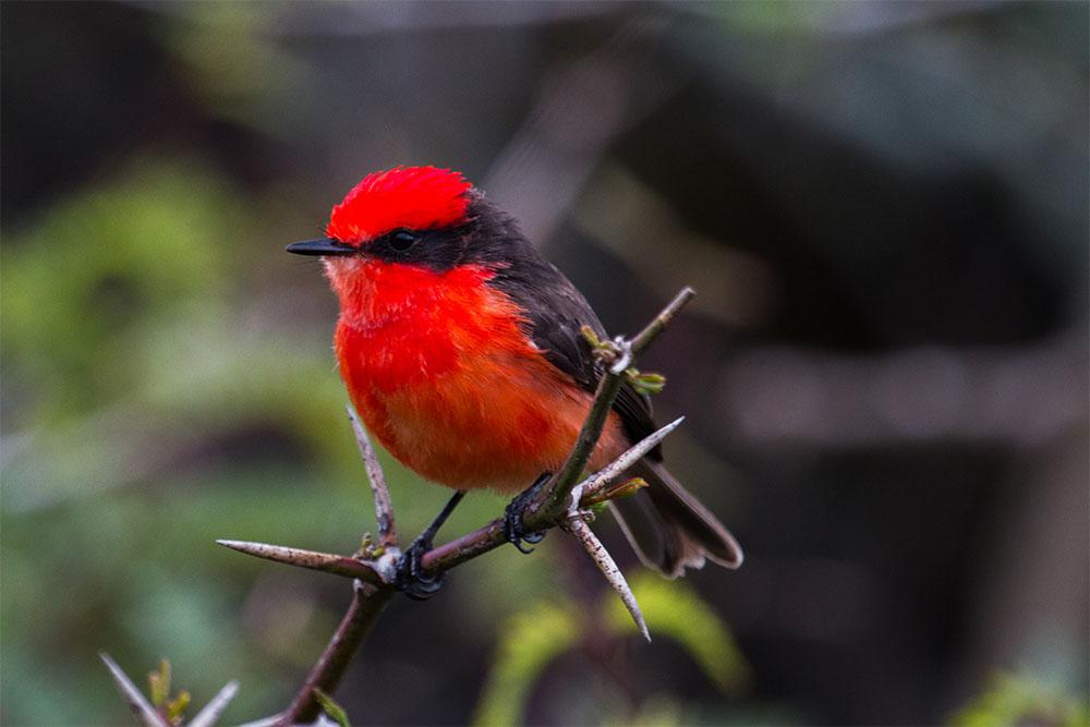 island-conservation-vermilion-flycatcher