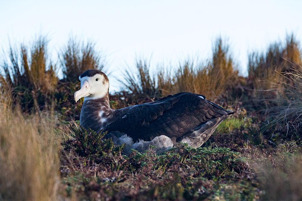 island conservation antipodean wandering albatross