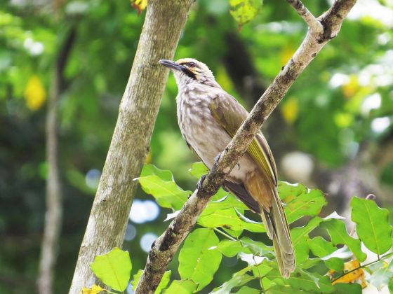 island conservation straw-headed bulbul