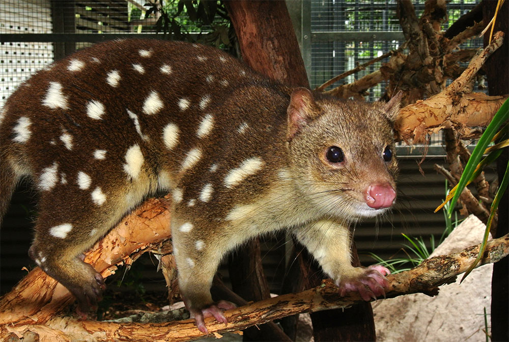 island conservation quoll